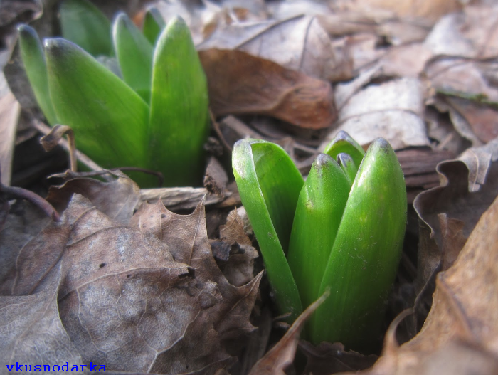 Цветы гиацинты