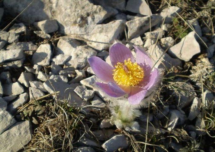 Сон-трава - пушистенькие цветы в Крыму