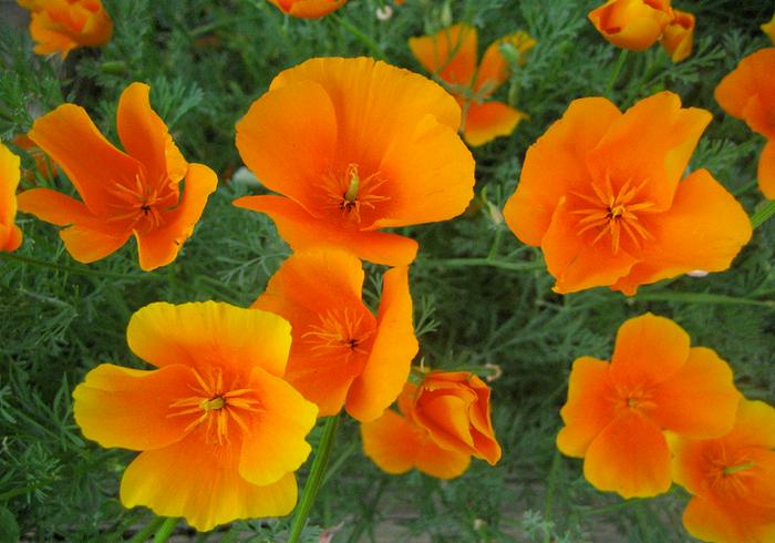 Эшшольция - цветок из Калифорнии