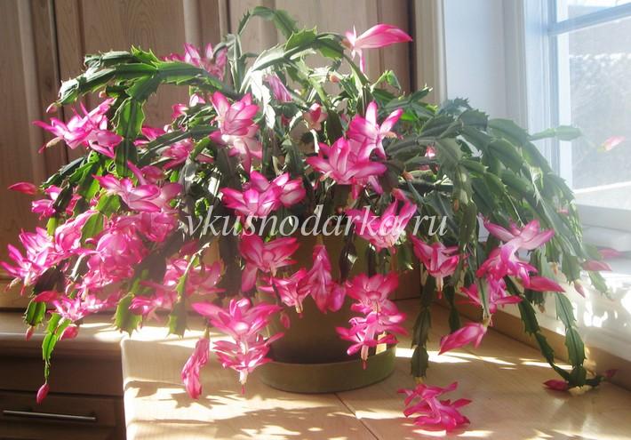 Цветок рождественский кактус