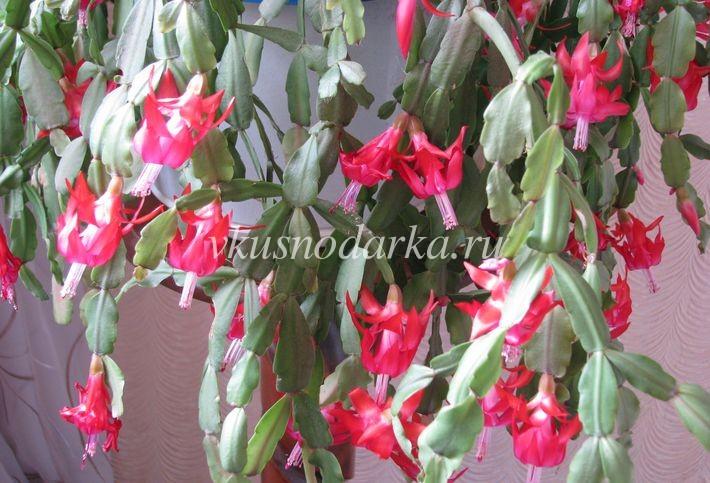 Цветок шлумбергера