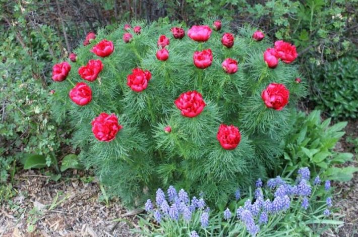 цветы. воронцы. фото