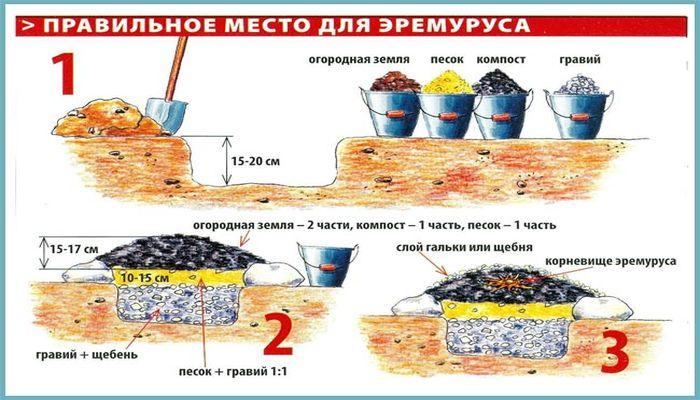 Эремурус - выращивание, уход, пересадка и размножение