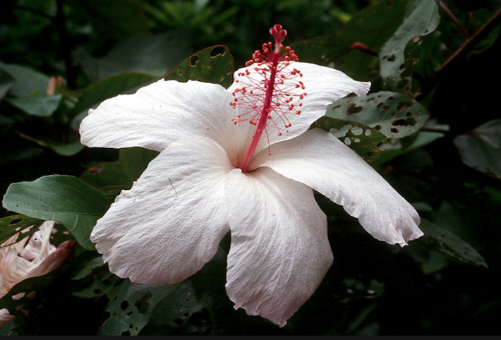 Кокио кокио (Kokio Keokeo) или Гавайский цветок