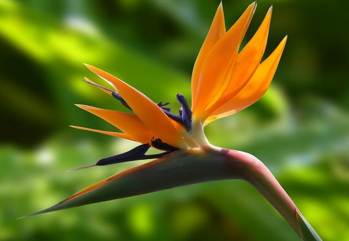 Райская птица или Стерлиция королевская