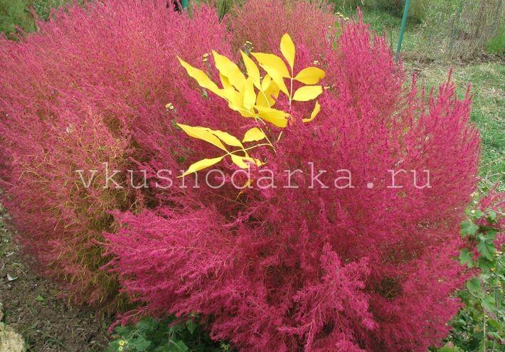 Кохия выращивание: уход и размножение за цветочной феерией