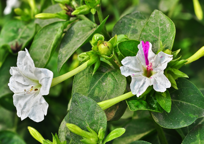 почвы для выращивания Мирабилиса