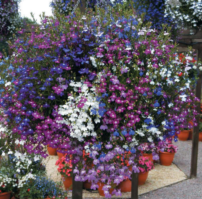 Цветы Лобелии