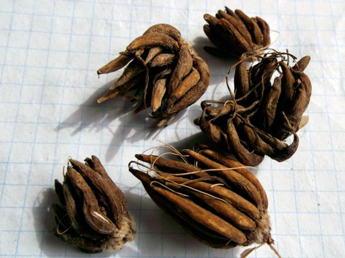 Посадочные корни лютиков в виде паучков