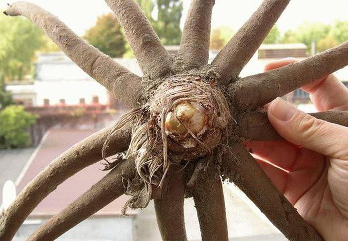 Посадочные корни эремуруса
