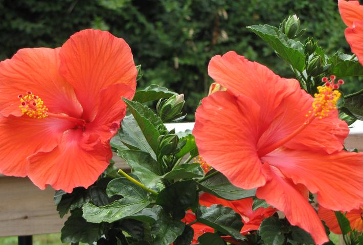 Гибискус садовый или гавайская экзотика