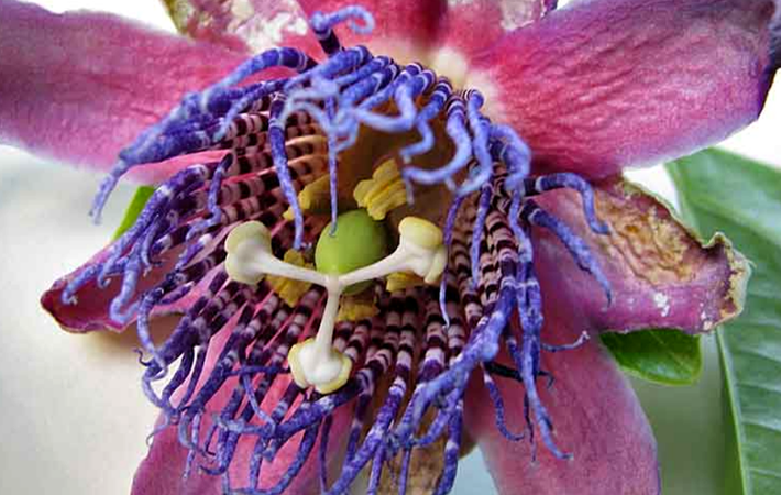 Пассифлора (Passiflora alata