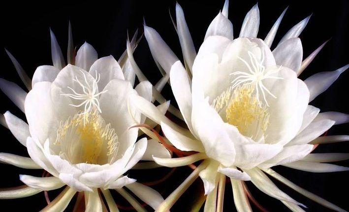 Цветок кaдyпул
