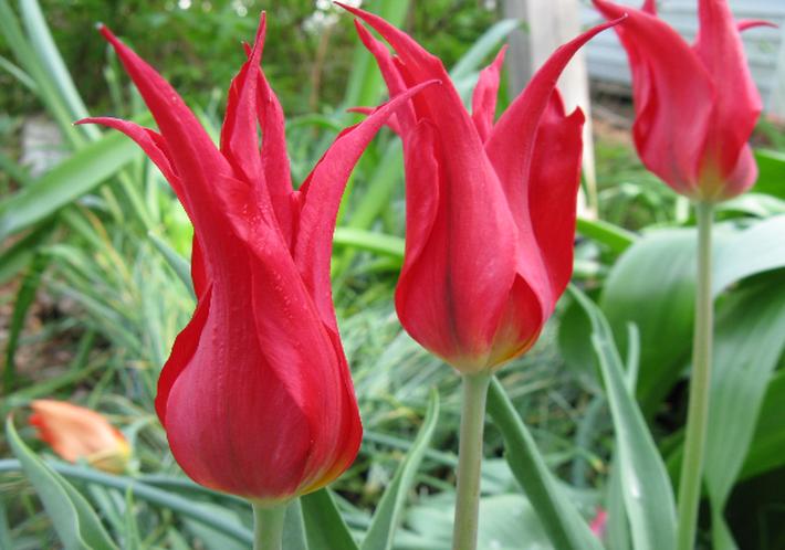 Сорт тюльпана из группы Триумф