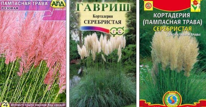 пампасная трава фото семян