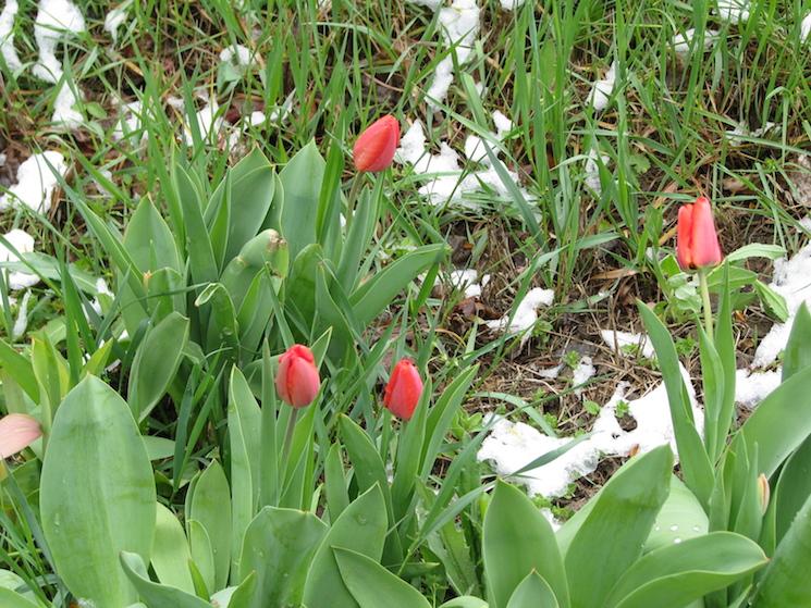 тюльпаны под снегом в Крыму