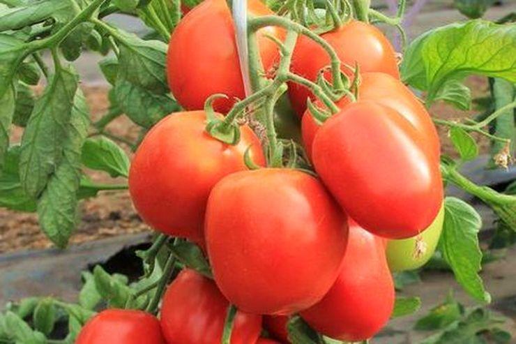 Описание сорта томата Валютный и его характеристики